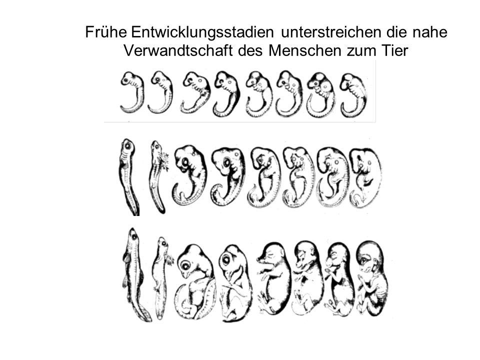 Wieviel können tierische Modellsysteme zum Verständnis der Entwicklung des Menschen beitragen? Schimpanse und Mensch haben fast 99% ihrer Gene gemeins