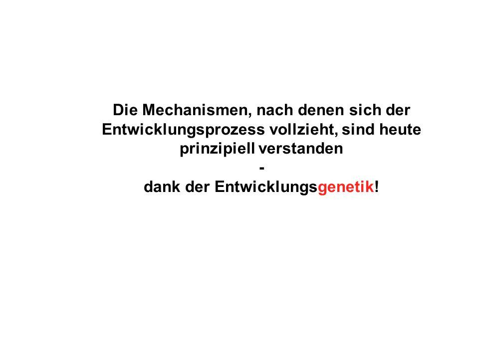Theorien der Entwicklungsbiologie Leeuwenhoek Präformationstheorie