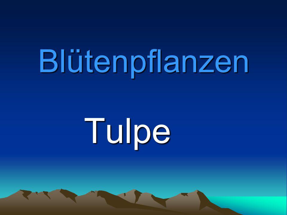 Blütenpflanzen Tulpe