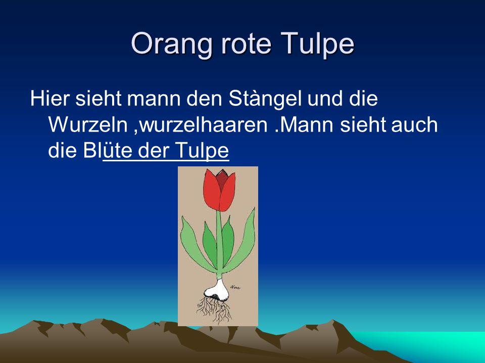 Orang rote Tulpe Hier sieht mann den Stàngel und die Wurzeln,wurzelhaaren.Mann sieht auch die Blüte der Tulpe