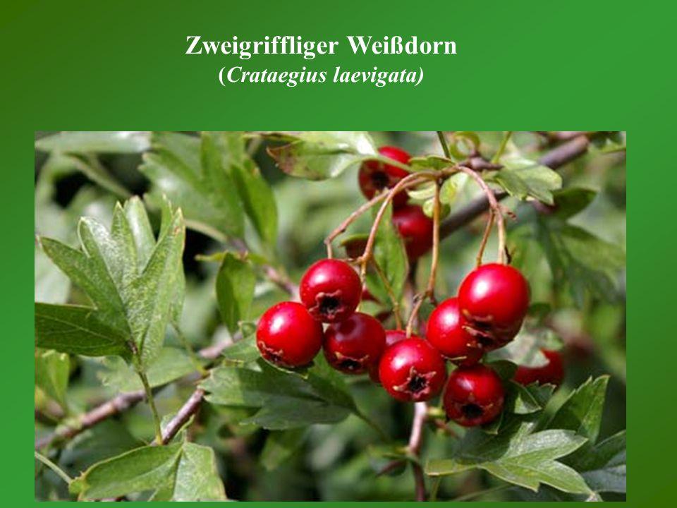 Zweigriffliger Weißdorn (Crataegius laevigata)