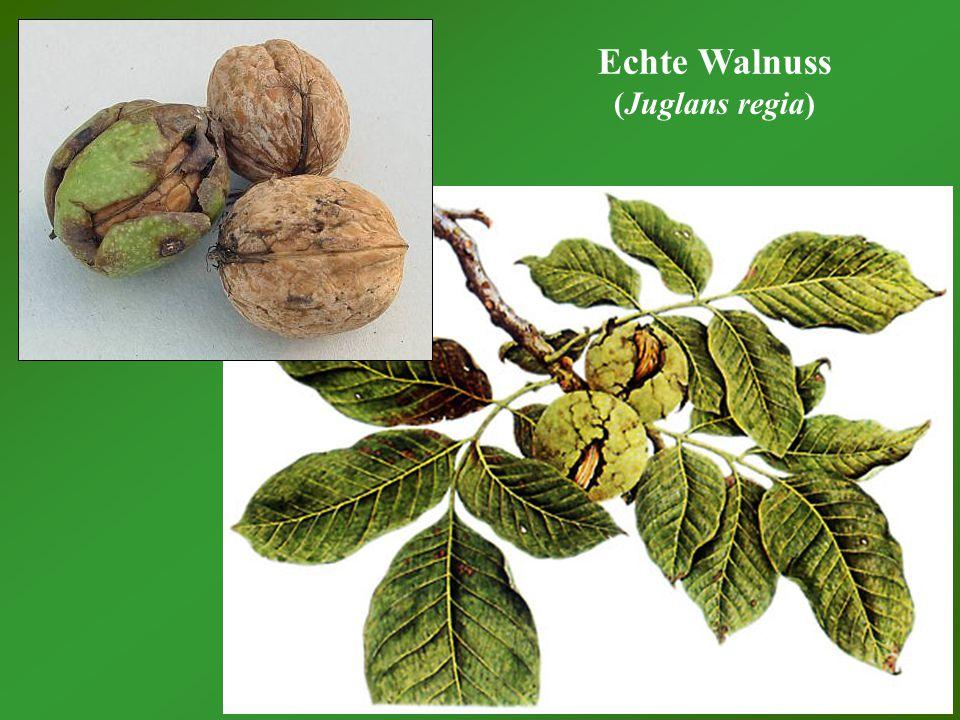 Echte Walnuss (Juglans regia)