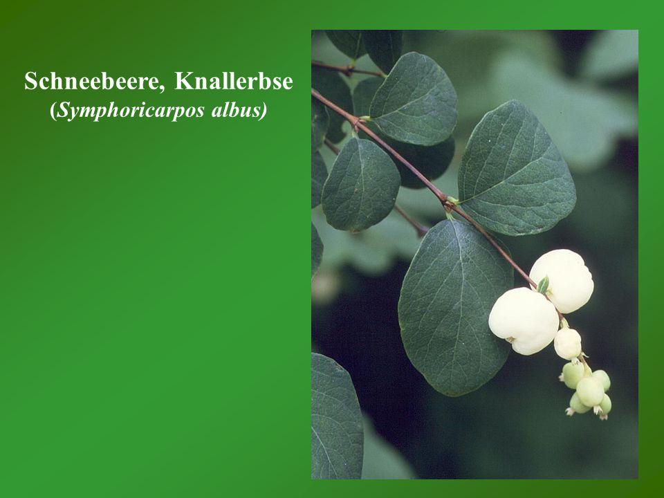 Schneebeere, Knallerbse (Symphoricarpos albus)