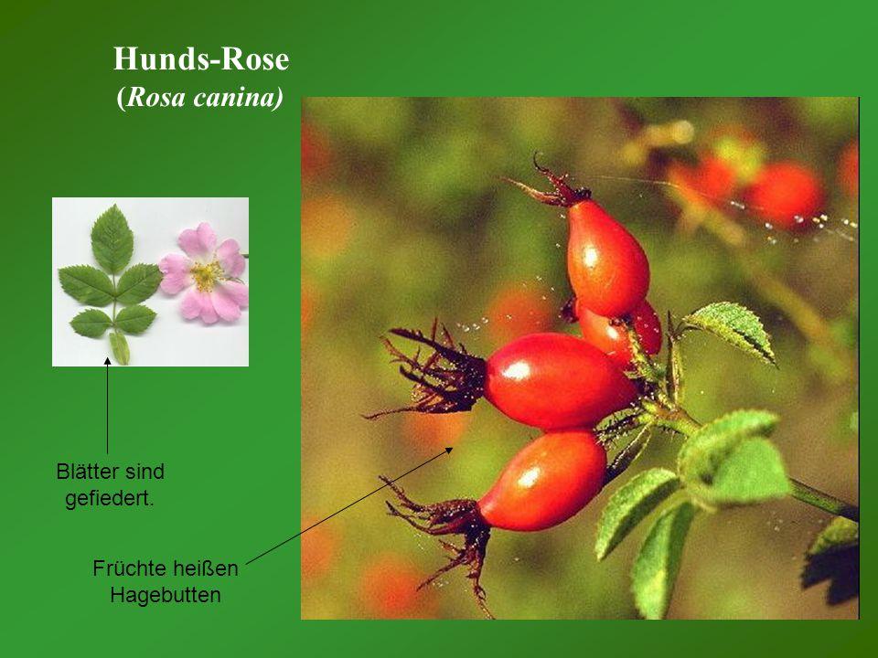 Hunds-Rose (Rosa canina) Früchte heißen Hagebutten Blätter sind gefiedert.