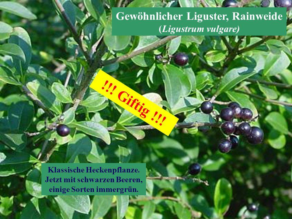 Gewöhnlicher Liguster, Rainweide (Ligustrum vulgare) Klassische Heckenpflanze. Jetzt mit schwarzen Beeren, einige Sorten immergrün. !!! Giftig !!!