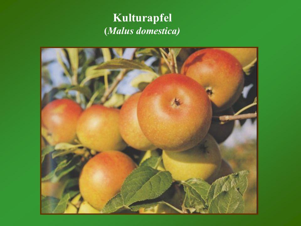 Kulturapfel (Malus domestica)
