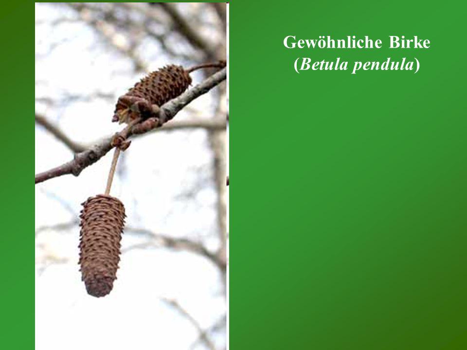 Gewöhnliche Birke (Betula pendula)