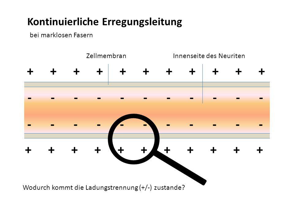 Kontinuierliche Erregungsleitung bei marklosen Fasern +++++++++++ ----------- ZellmembranInnenseite des Neuriten Wodurch kommt die Ladungstrennung (+/