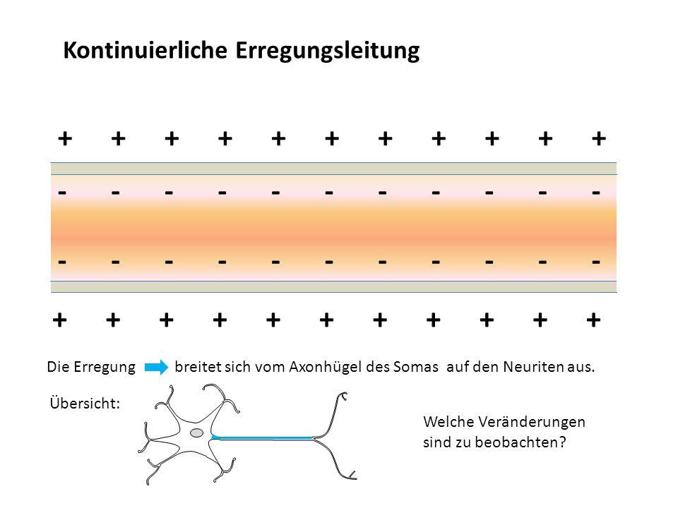 Kontinuierliche Erregungsleitung +++++++++++ +++++++++++ ----------- ----------- Die Erregung breitet sich vom Axonhügel des Somas auf den Neuriten au