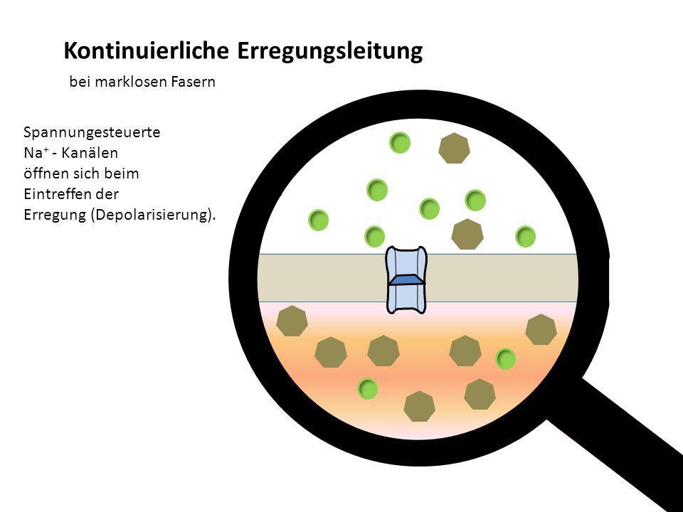Kontinuierliche Erregungsleitung bei marklosen Fasern Spannungesteuerte Na + - Kanälen öffnen sich beim Eintreffen der Erregung (Depolarisierung). -