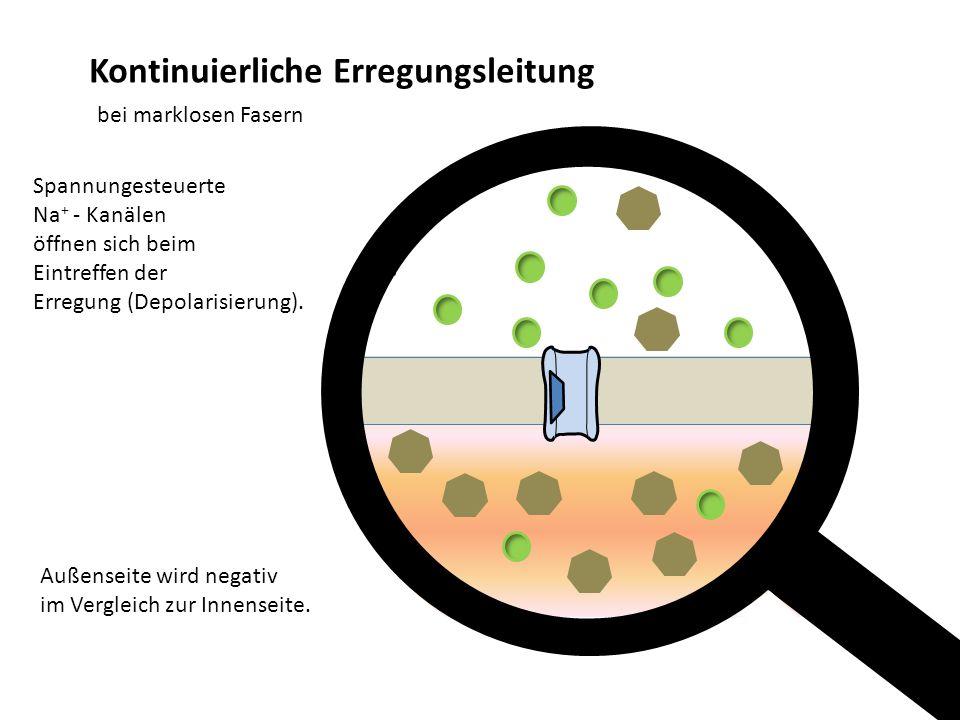 Kontinuierliche Erregungsleitung bei marklosen Fasern Außenseite wird negativ im Vergleich zur Innenseite. - Spannungesteuerte Na + - Kanälen öffnen s