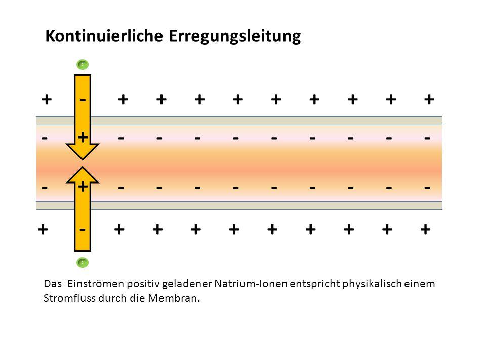 Kontinuierliche Erregungsleitung ++++++++++ +++++++++ ---------- --------- - + Das Einströmen positiv geladener Natrium-Ionen entspricht physikalisch
