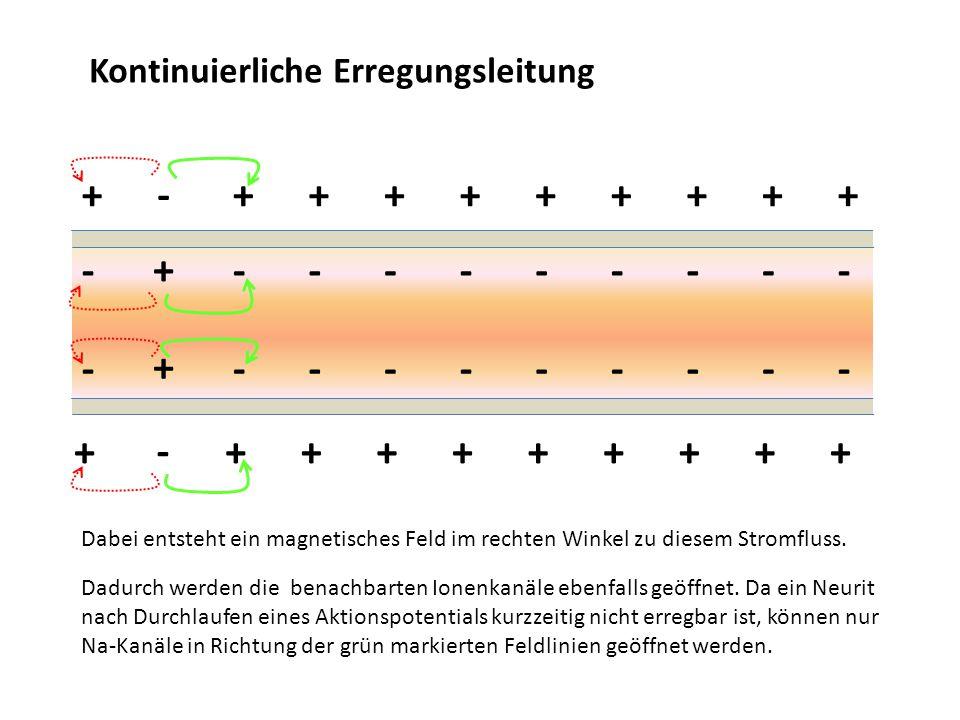 Kontinuierliche Erregungsleitung ++++++++ ++++++++ -------- -------- Dabei entsteht ein magnetisches Feld im rechten Winkel zu diesem Stromfluss. ++ +