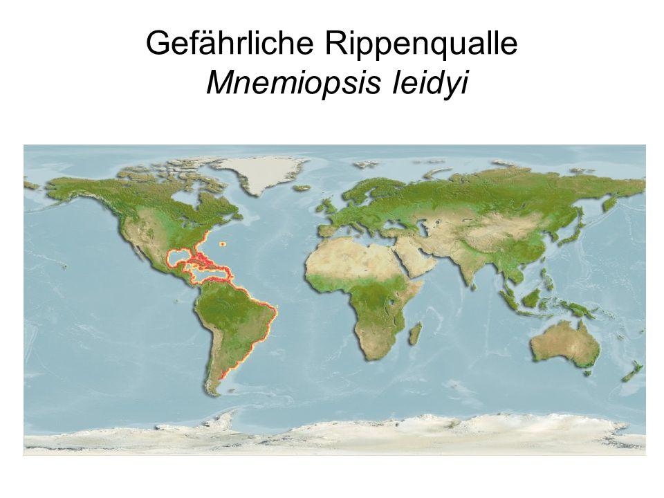 Gefährliche Rippenqualle Mnemiopsis leidyi