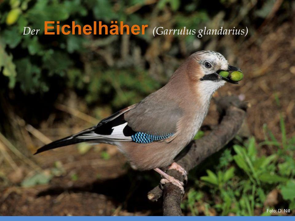 Der Eichelhäher (Garrulus glandarius) Foto: D. Nill