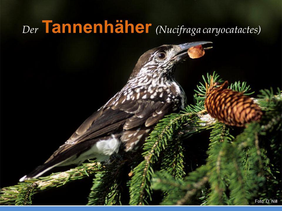 Der Tannenhäher (Nucifraga caryocatactes) Foto: D. Nill