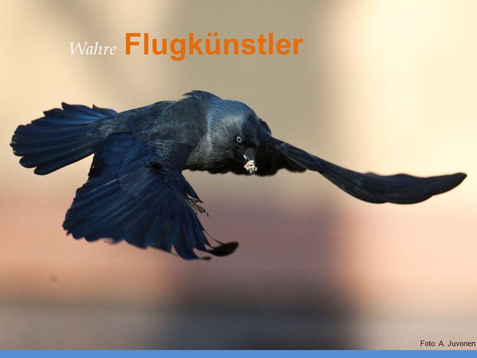 Wahre Flugkünstler Foto: A. Juvonen
