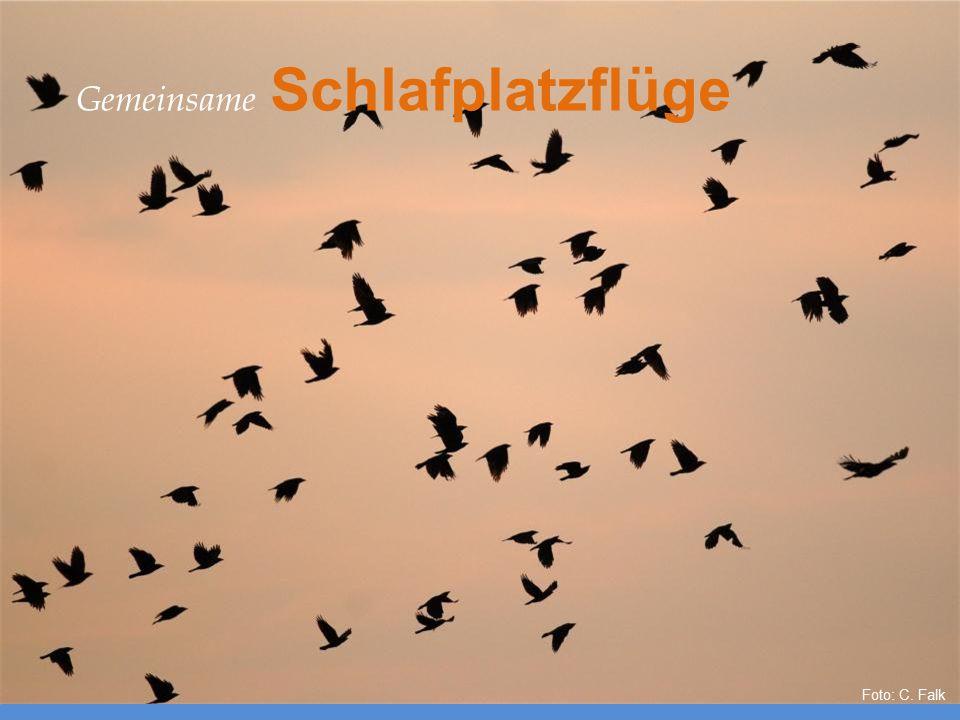 Foto: C. Falk Gemeinsame Schlafplatzflüge