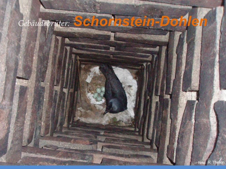 Foto: R. Thelen Gebäudebrüter: Schornstein-Dohlen