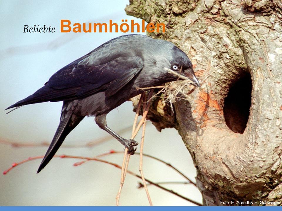 Foto: E. Arendt & H. Schweiger Beliebte Baumhöhlen