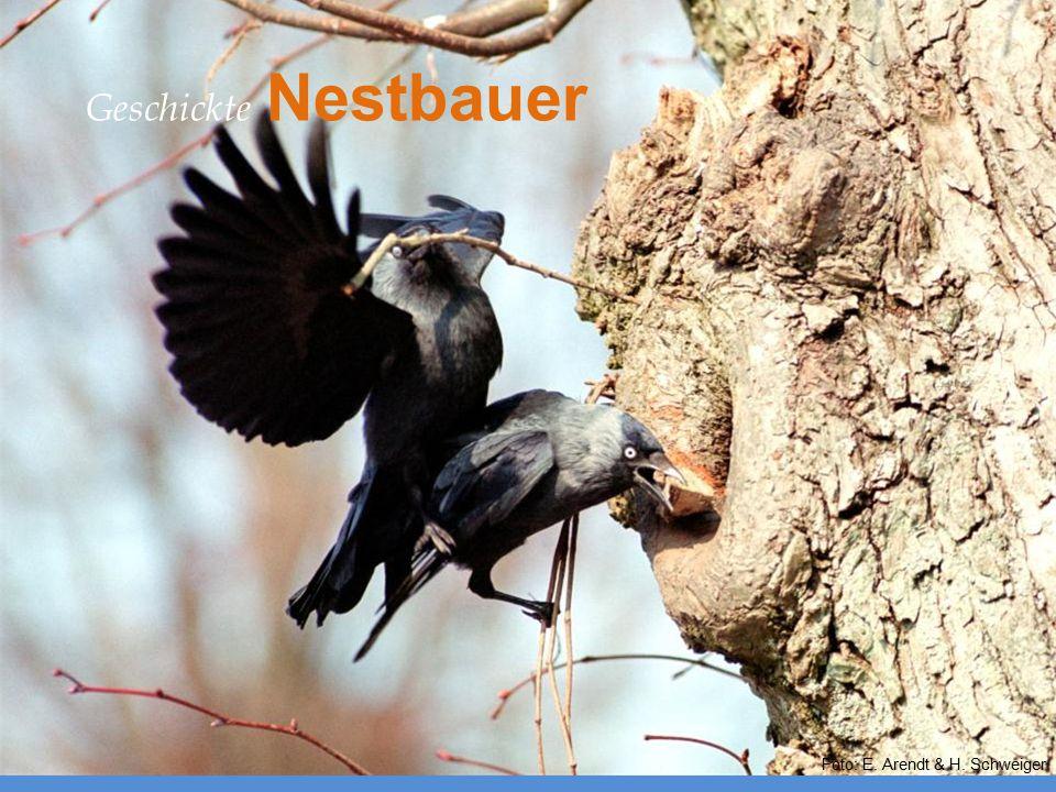 Nestgestaltung Foto: E. Arendt & H. Schweiger Geschickte Nestbauer