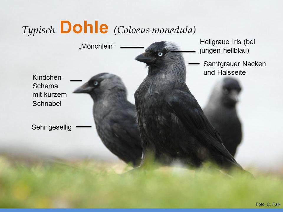 """Typisch Dohle (Coloeus monedula) Sehr gesellig Samtgrauer Nacken und Halsseite Kindchen- Schema mit kurzem Schnabel """"Mönchlein"""" Hellgraue Iris (bei ju"""