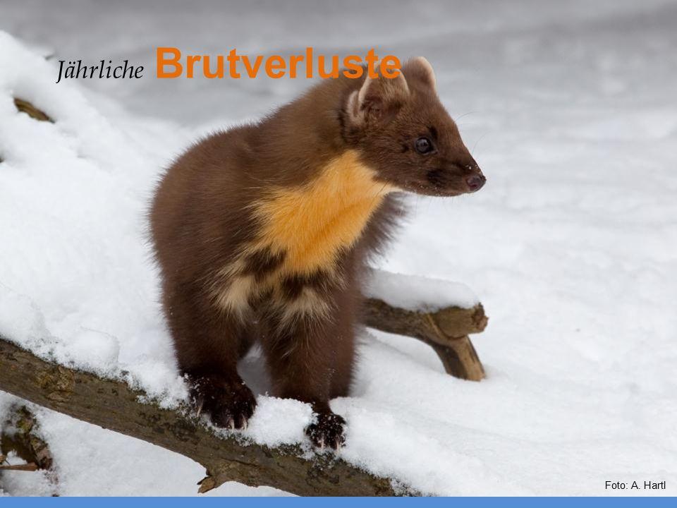 Foto: A. Hartl Jährliche Brutverluste