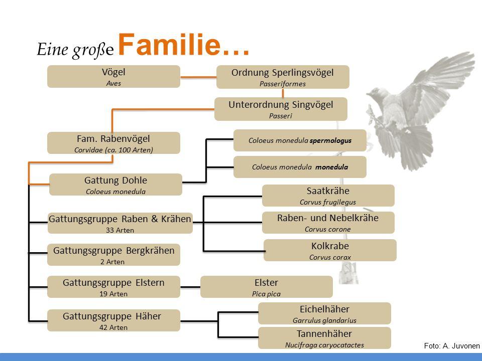 Eine groß e Familie… Kolkrabe Corvus corax Fam. Rabenvögel Corvidae (ca. 100 Arten) Unterordnung Singvögel Passeri Ordnung Sperlingsvögel Passeriforme