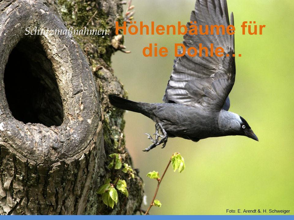 Schutzmaßnahmen: Höhlenbäume für die Dohle… Foto: E. Arendt &. H. Schweiger