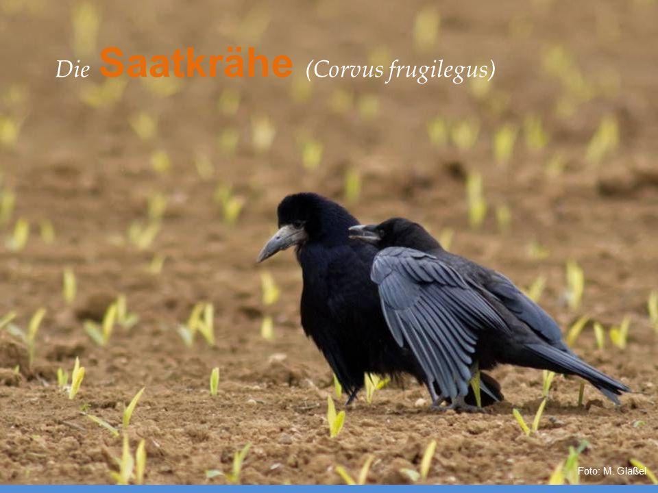 Die Saatkrähe (Corvus frugilegus) Foto: M. Gläßel