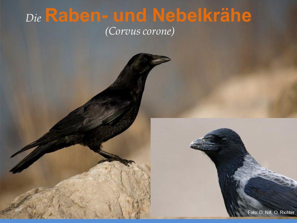 Europäische Verwandte – Die Aaskrähe (Corvus corone) Die Raben- und Nebelkrähe (Corvus corone) Foto: D. Nill, O. Richter