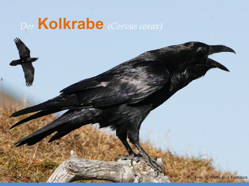 Europäische Verwandte – Der Kolkrabe (Corvus corax) Foto: H. Werth, H.-J. Fünfstück Der Kolkrabe (Corvus corax)