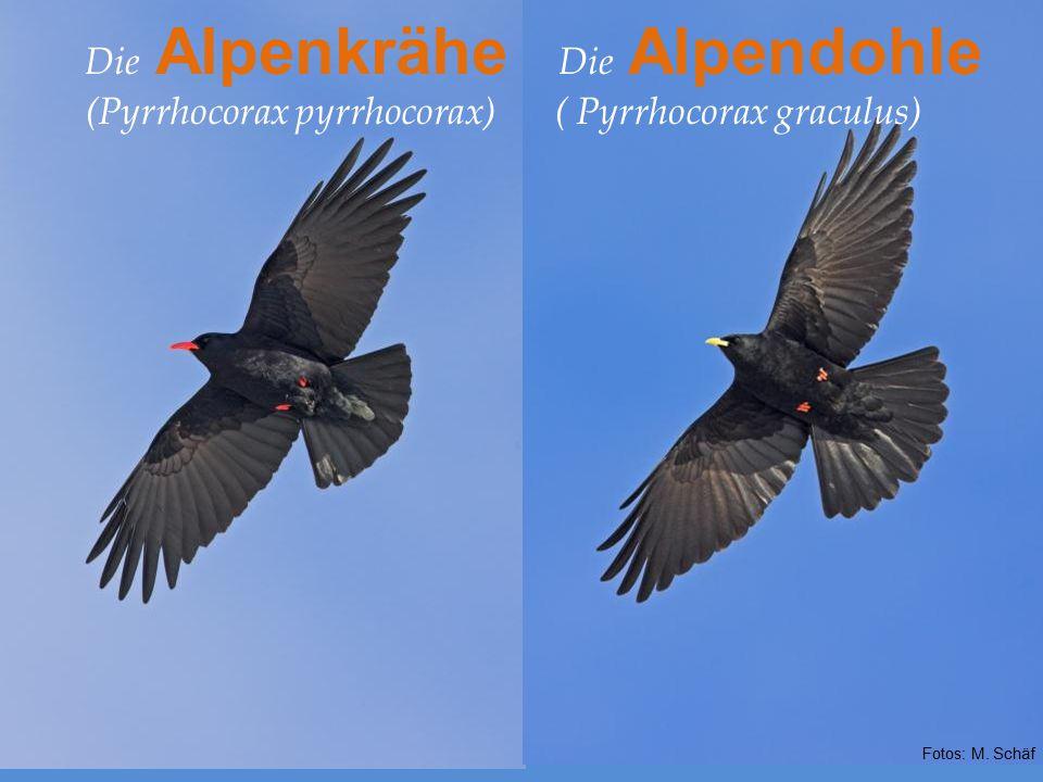 Die Alpenkrähe (Pyrrhocorax pyrrhocorax) Die Alpendohle ( Pyrrhocorax graculus) Fotos: M. Schäf