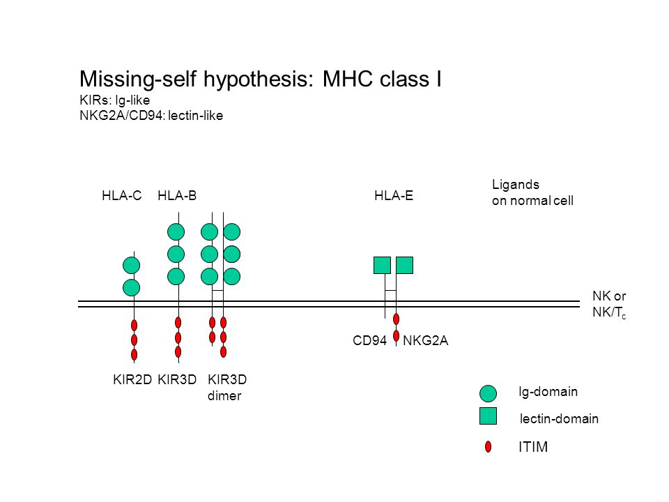 Missing-self hypothesis: MHC class I KIRs: Ig-like NKG2A/CD94: lectin-like Ig-domain lectin-domain NKG2ACD94 KIR2DKIR3D dimer HLA-CHLA-B HLA-E ITIM Ligands on normal cell NK or NK/T c