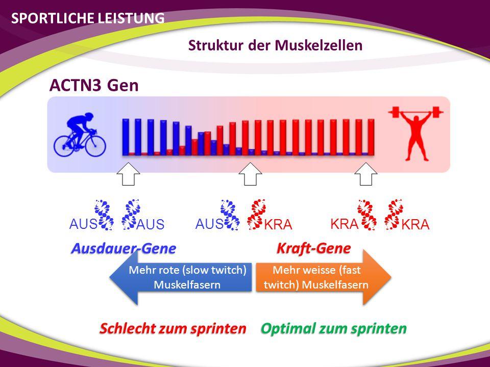 SPORTLICHE LEISTUNG Struktur der Muskelzellen Kraft-Gene AUS KRA AUS KRA Mehr weisse (fast twitch) Muskelfasern Mehr rote (slow twitch) Muskelfasern A