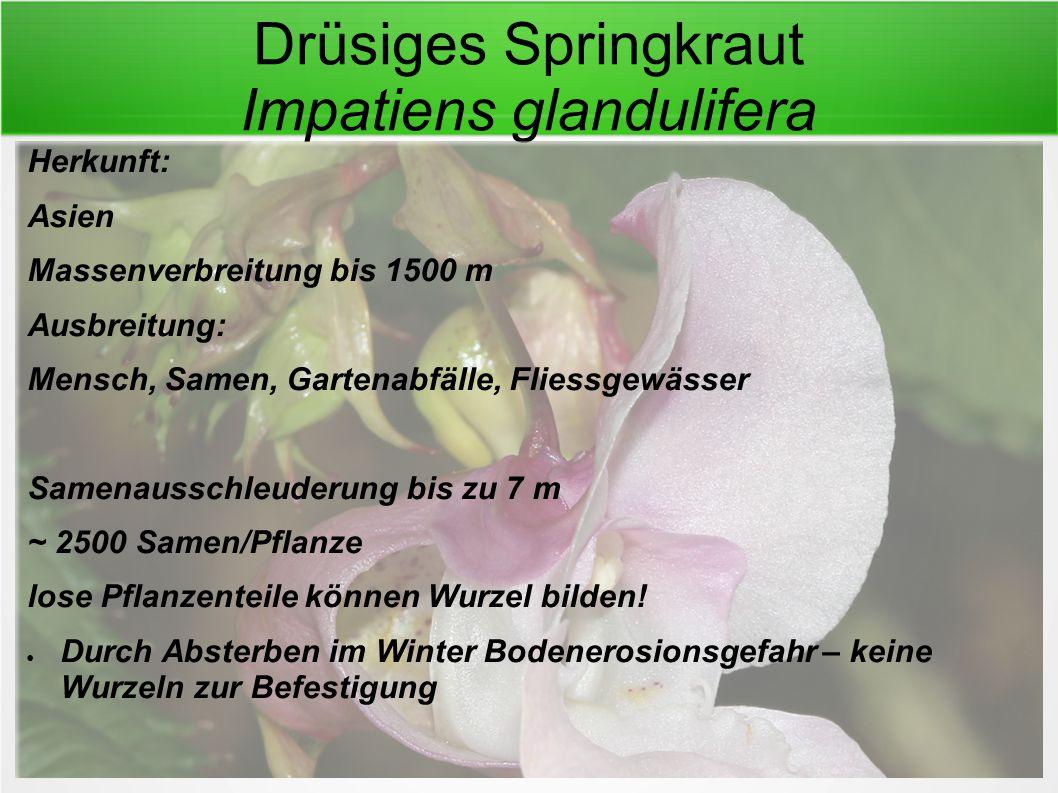 Drüsiges Springkraut Impatiens glandulifera Herkunft: Asien Massenverbreitung bis 1500 m Ausbreitung: Mensch, Samen, Gartenabfälle, Fliessgewässer Sam