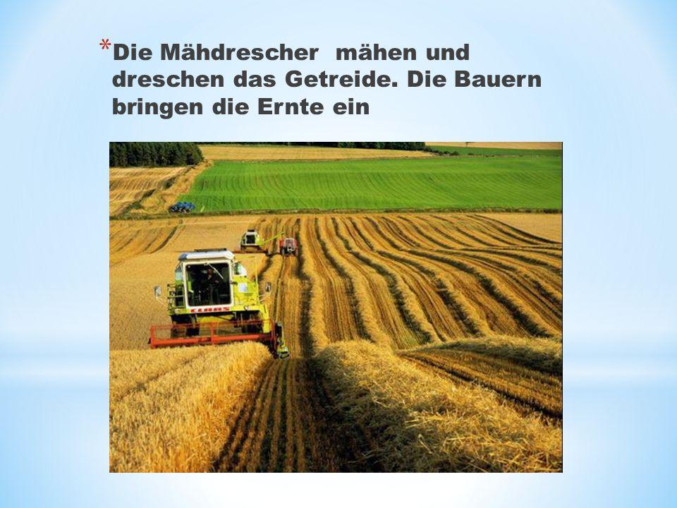 * Die Mähdrescher mähen und dreschen das Getreide. Die Bauern bringen die Ernte ein