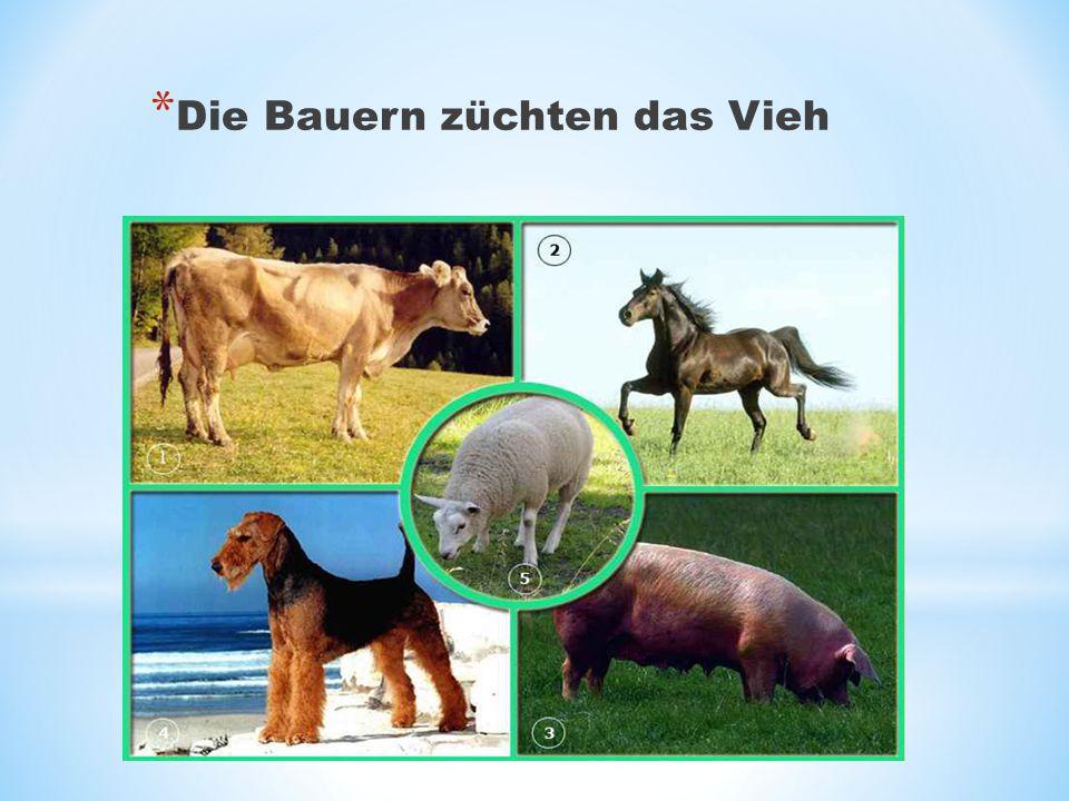 * Die Bauern züchten das Vieh