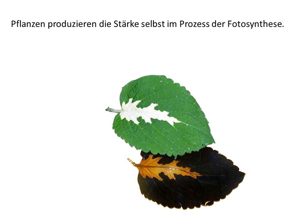 Pflanzen produzieren die Stärke selbst im Prozess der Fotosynthese.