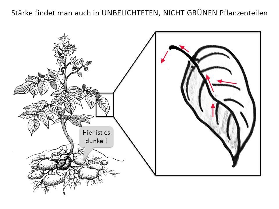 Stärke findet man auch in UNBELICHTETEN, NICHT GRÜNEN Pflanzenteilen Hier ist es dunkel!
