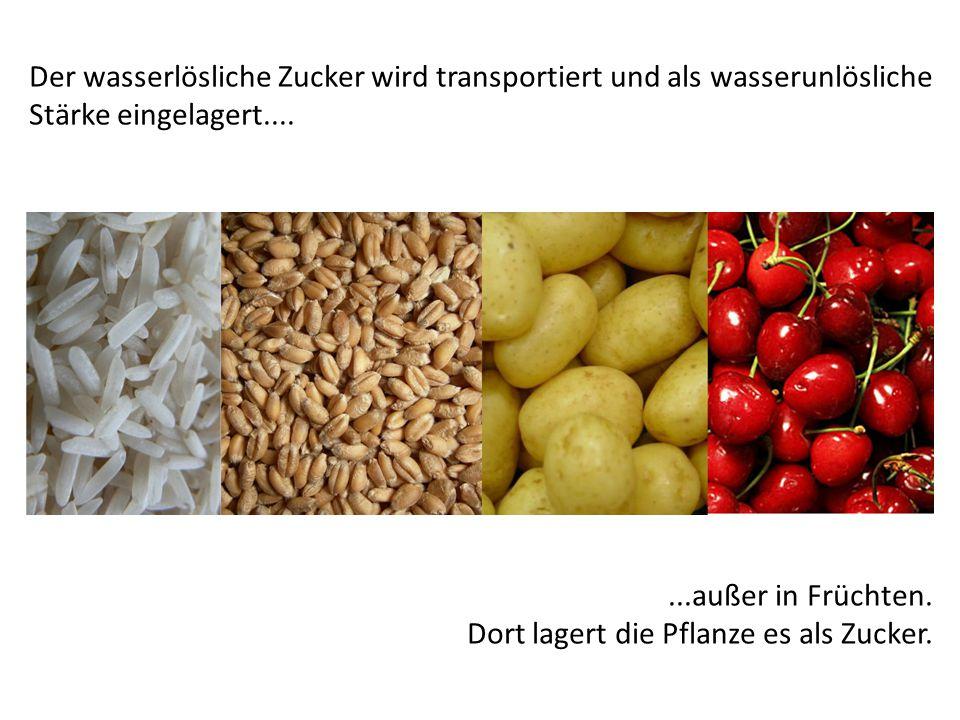 Der wasserlösliche Zucker wird transportiert und als wasserunlösliche Stärke eingelagert.......außer in Früchten. Dort lagert die Pflanze es als Zucke