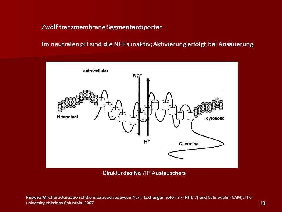 10 Zwölf transmembrane Segmentantiporter Im neutralen pH sind die NHEs inaktiv; Aktivierung erfolgt bei Ansäuerung Popova M. Characterization of the i