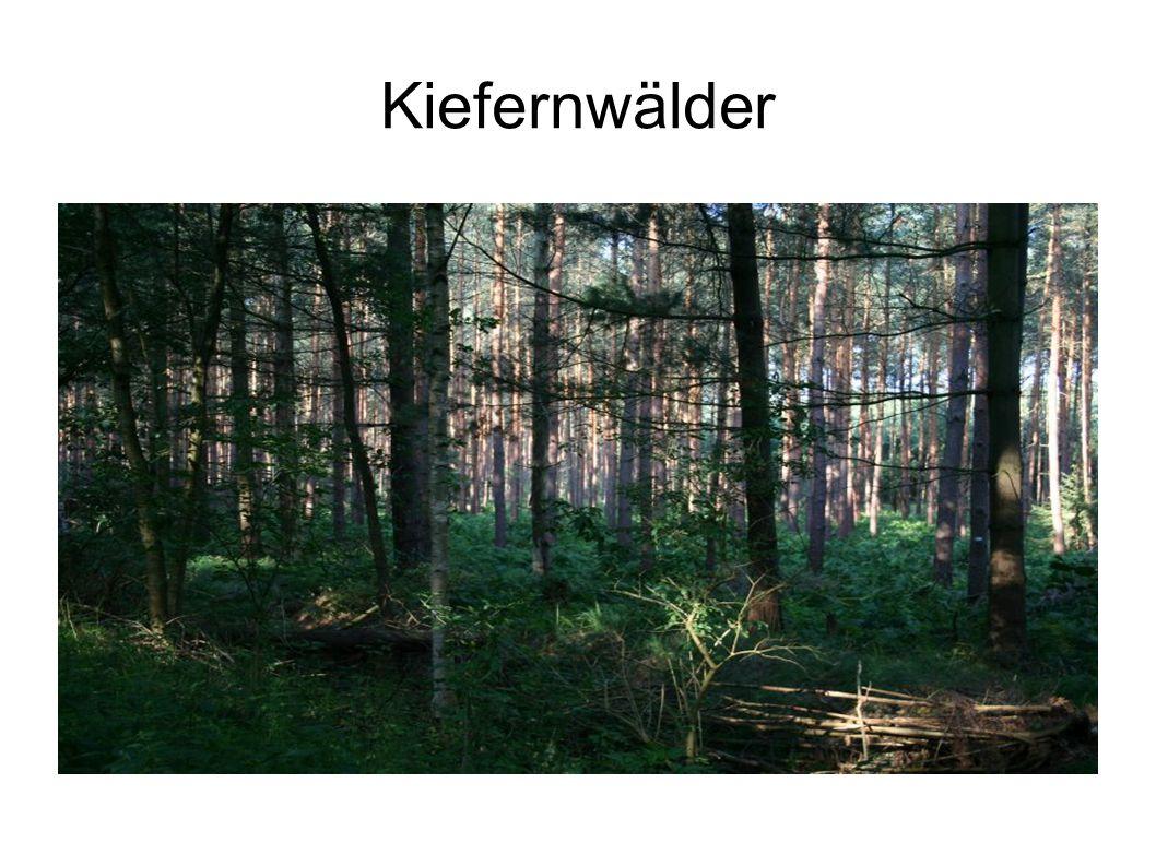 Kiefernwälder