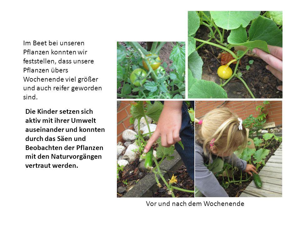 Im Beet bei unseren Pflanzen konnten wir feststellen, dass unsere Pflanzen übers Wochenende viel größer und auch reifer geworden sind. Vor und nach de