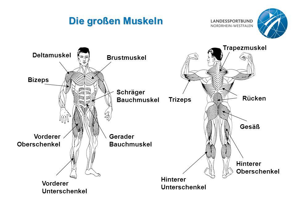 Die großen Muskeln Deltamuskel Brustmuskel Bizeps Vorderer Oberschenkel Schräger Bauchmuskel Gerader Bauchmuskel Vorderer Unterschenkel Trizeps Trapez