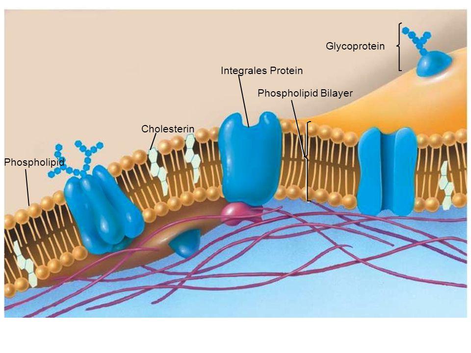 Phospholipide Hydrophobe Schwänze Hydrophile Köpfe Doppelschicht Hydrophile Köpfe