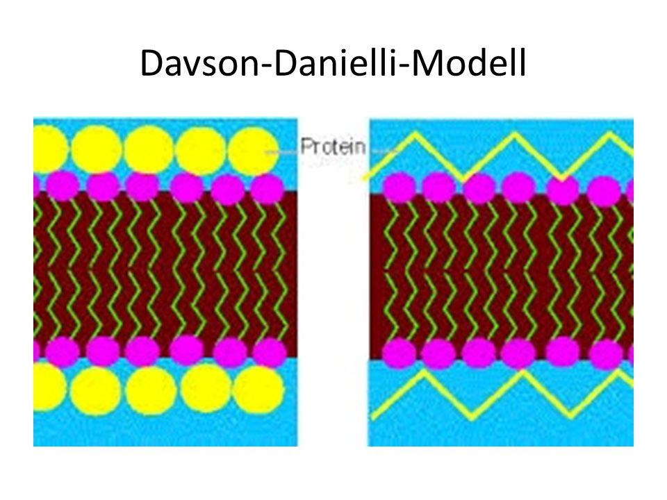 Davson und Danielli wurden durch Elektromikrogramme bestätigt: 3 Linien: (dunkel – hell – dunkel) Hydrophile Schicht (Phopshatkopf und Proteine) Hydrophobe Schicht (Lipidschwänze) Hydrophile Schicht (Phopshatkopf und Proteine)