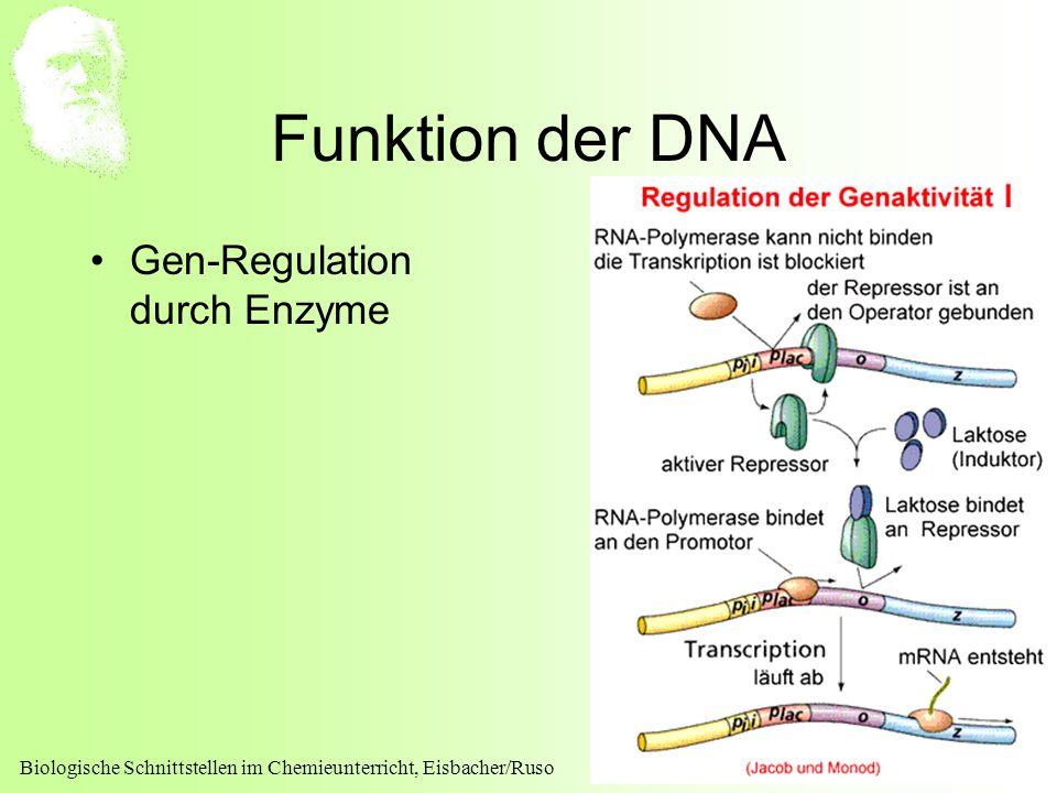 Biologische Schnittstellen im Chemieunterricht, Eisbacher/Ruso 19 Funktion der DNA Gen-Regulation durch Enzyme