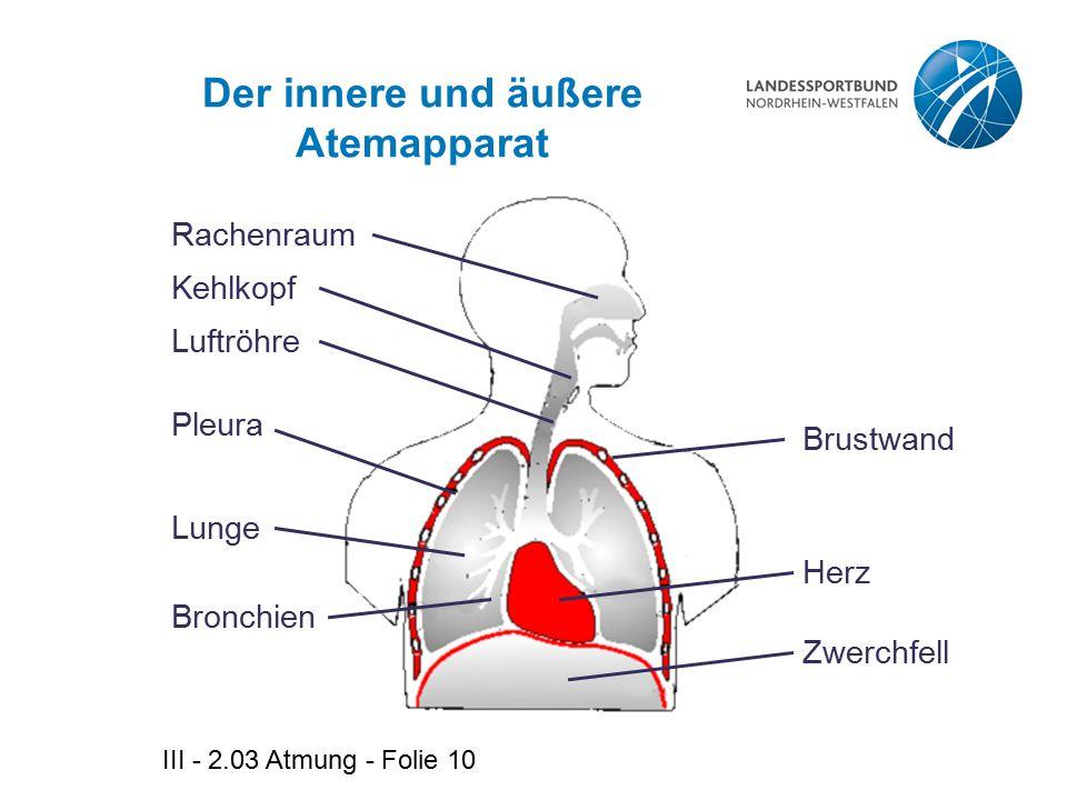 III - 2.03 Atmung - Folie 10 Der innere und äußere Atemapparat Rachenraum Kehlkopf Luftröhre Pleura Lunge Bronchien Brustwand Herz Zwerchfell