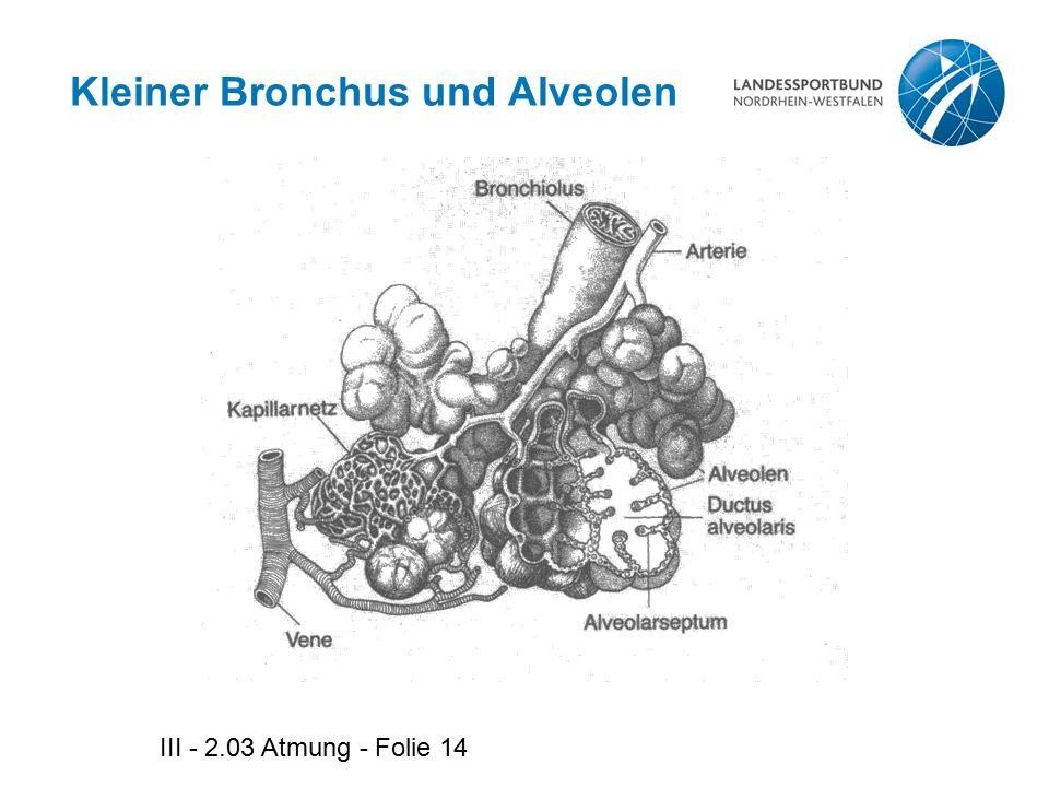 III - 2.03 Atmung - Folie 14 Kleiner Bronchus und Alveolen